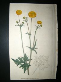 Curtis 1793 Hand Col Botanical Print. Double Upright Crowfoot 215. Ranunulus